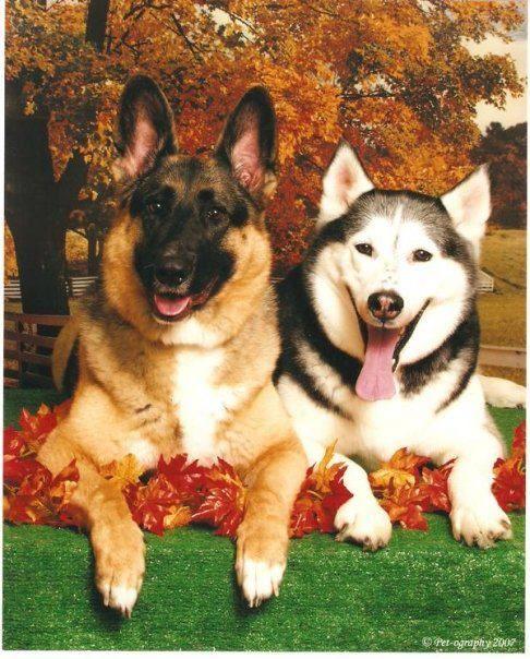 Bailey and Montana the German Shepherd and Siberian Husky smiling.