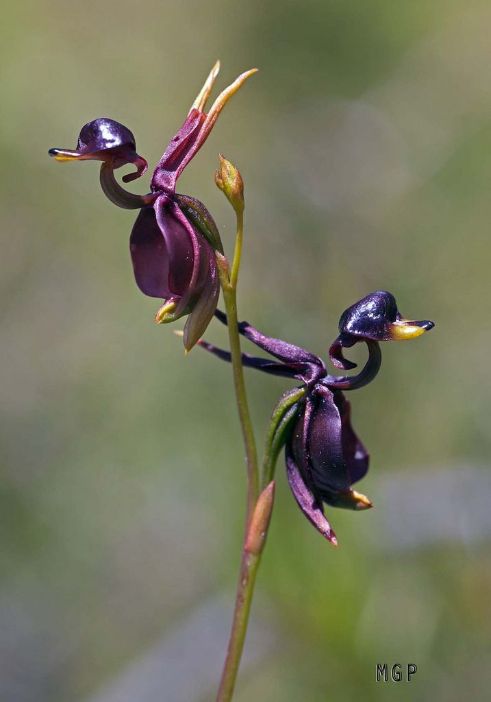 Flying Duck Orchid... crazy. Beautiful. My initial reaction though: Holy shit it does look like ducks!!