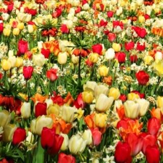 Keukenhof Park  Tulips are my favorite flowers<3