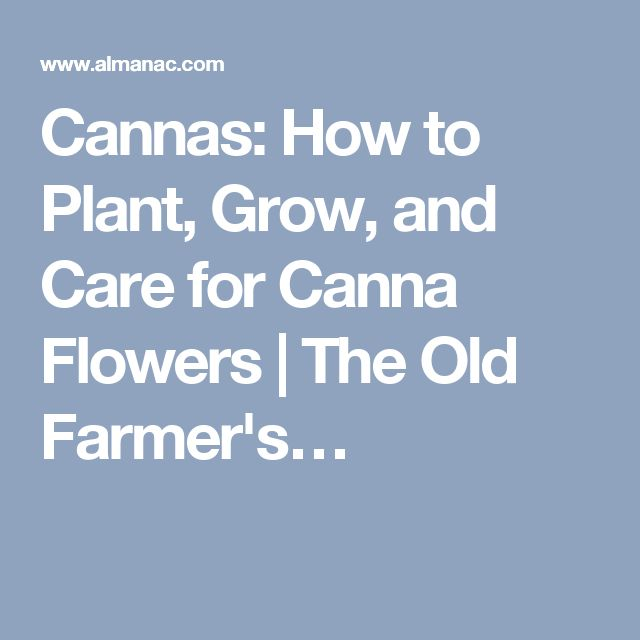 Cannas: How to Plant, Grow, and Care for Canna Flowers   The Old Farmer's…