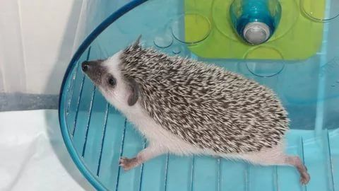 Cute Pygmy Hedgehog Pygmy Hedgehog For Sale With.