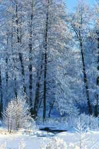 Snowy trees from Vääntäjä cottages in Valkeala