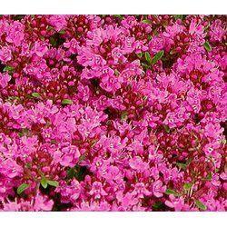 Thymus serpyllum Magic Carpet - Teppich-Thymian (Saatgut)