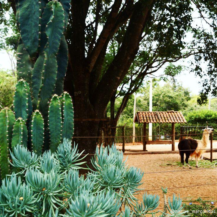 Passionate about plants and addicted to taking pictures of this beautiful ❤ . Taken by: anasanches.arq Our shop: laschicas.atelie #plantas #plant #garden #bauru #baurucity #zoologico #zoo #estadodesaopaulo #brasil #cactus #cactos #suculentas #lhama #ambientação #suculentasbrasil #suculent #suculentslover #animals #zoobauru #zoologicobauru #mariasmargaridas