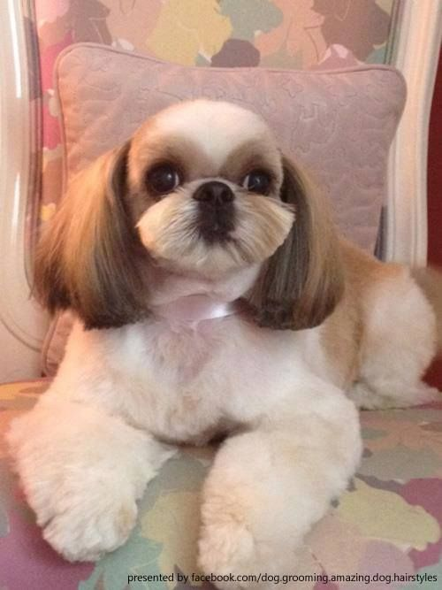 shih tzu hair care 17 best images about shih tzu hair styles on pinterest 3880