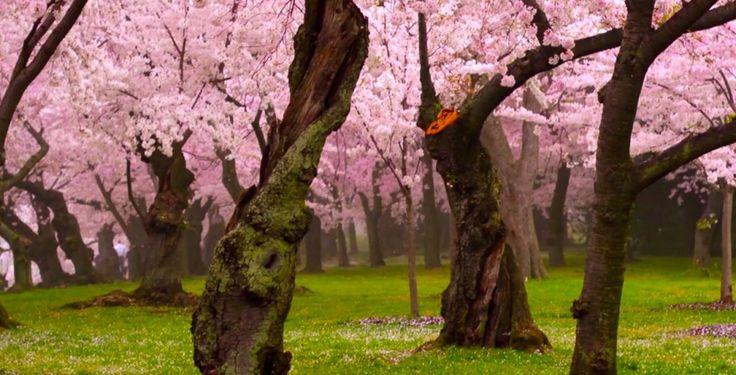 【世界のお花見スポット9選】ワシントンや台湾、イスタンブールの桜が美しい・・・ | ガジェット通信