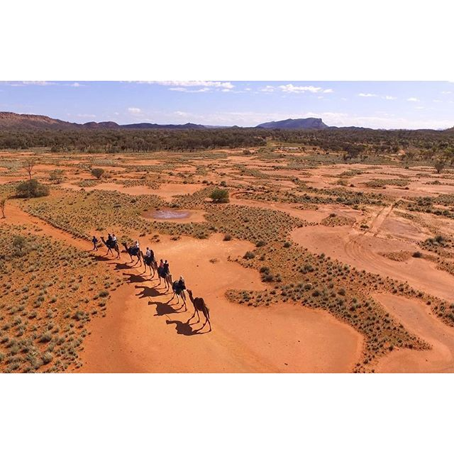 Camels in Alice Springs- Northern Territory