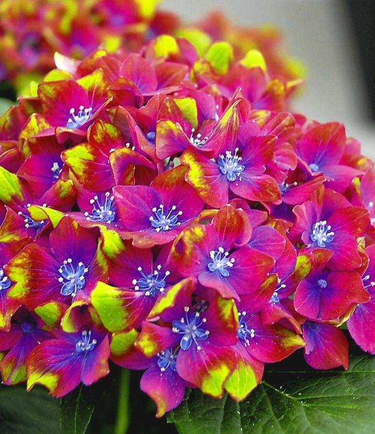 hydrangea macrophylla 39 schloss wackerbarth 39 floral. Black Bedroom Furniture Sets. Home Design Ideas