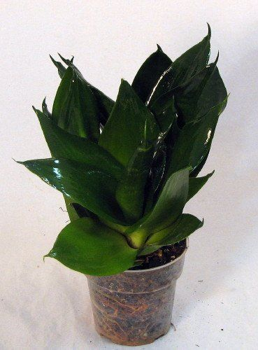 Green Jade Dwarf Snake Plant - Sanseveria - Impossible to ...
