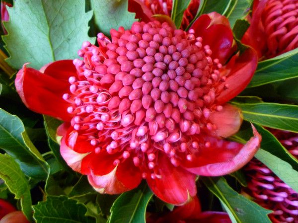 Waratahs are the floral emblem of New South Wales. They're blossoming now. #Australia #flowers