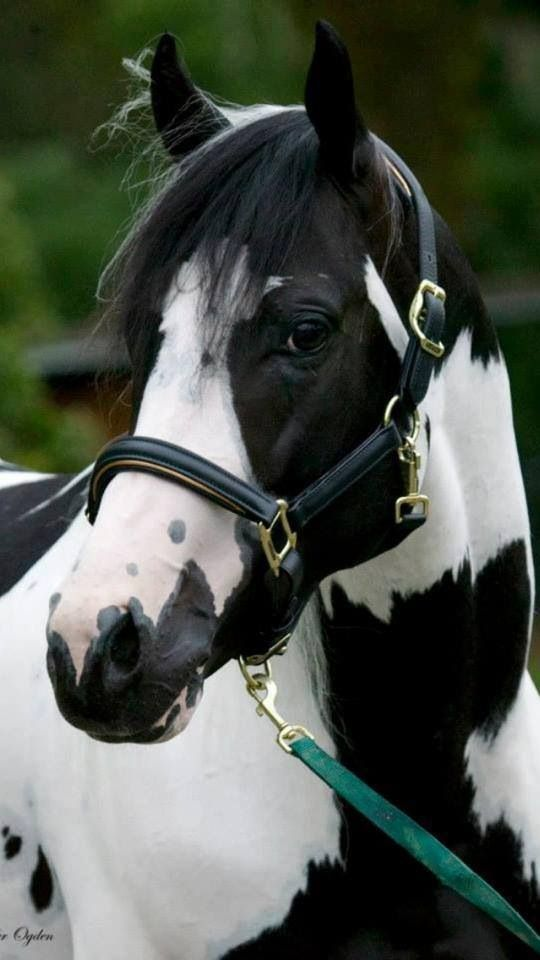 Beautiful piebald black tobiano paint | Quarter Horses ...