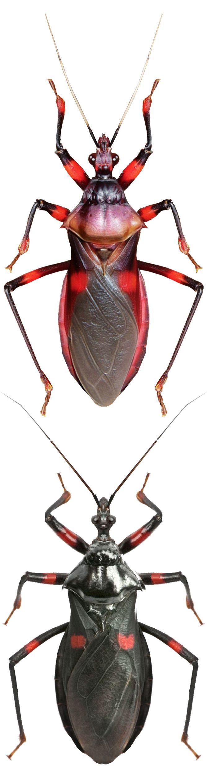 Platymeris rhadamantus