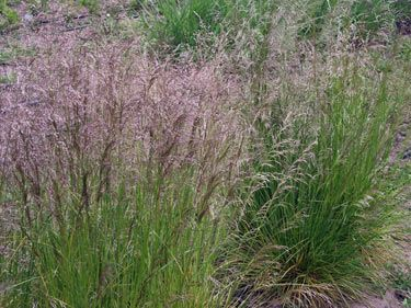 81 best images about landscapes ornamental grasses for for Tall thin ornamental grasses