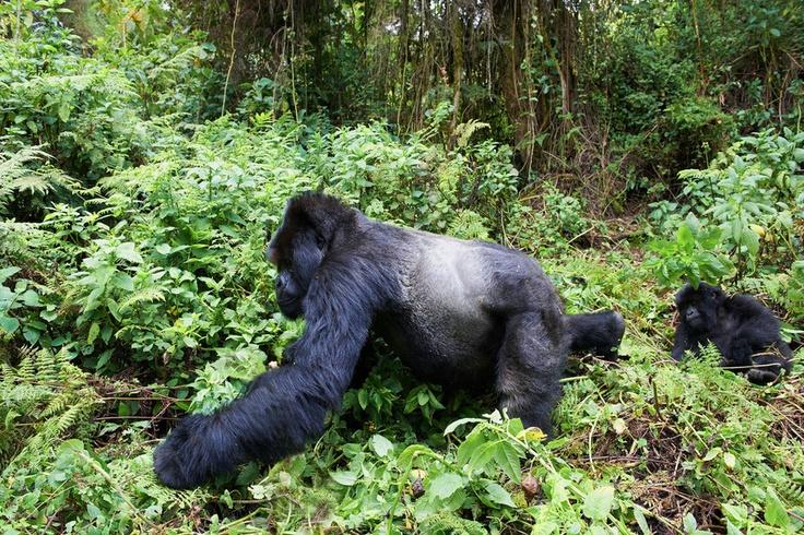 Gorille de montagne, dos argenté et jeune. Rwanda