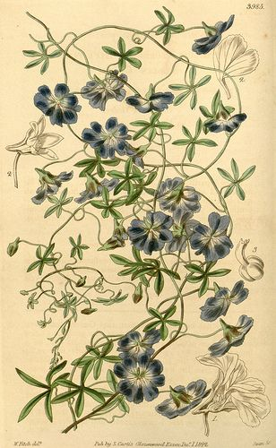 Tropaeolum azureum - Native to Chile - circa 1843