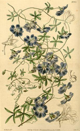 Tropaeolum azureum - Native to Chile - circa 1843