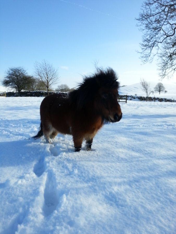 99 best Shetland Ponies images on Pinterest | Horses, Beautiful ...
