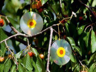 Dalinco, soiul de măr care i-a dejamăgit pe pomicultori: e sensibil la focul bacterian și a avut producții mici