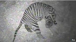 Anak harimau Sumatra mati di Bonbin London - Bilang Siapa