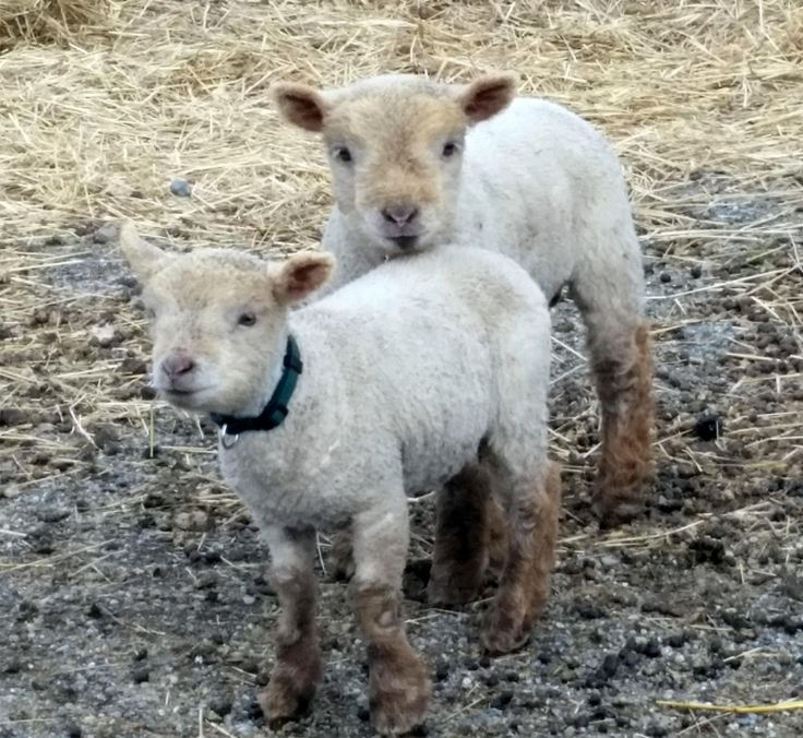 Finegan's Farm Babydoll Southdown Sheep | NABSSAR - white ...