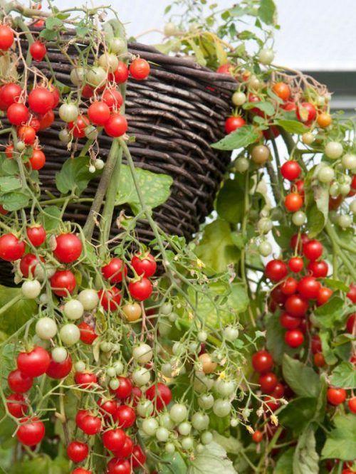 Los tomates son una de las hortalizas más queridos (aunque técnicamente se trate de una fruta). ¿Y por qué no? Son fáciles de cultivar y podemos hacerlo en un espacio reducido. Aunque es fundamenta…