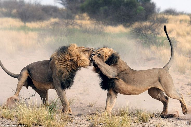The lion king: This is the teeth-clenching moment a lionpunched its love rival on the nos...