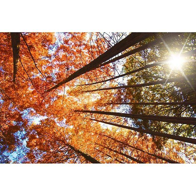 【the_10point】さんのInstagramをピンしています。 《🍁 「 秋モード 」 ・ ・ メタセコイアの森 ・ 秋色に輝く ・ ・ ・ 降るような… ・ ・ #autumnleaves  #orange  #autumncolors  #metasequoia  #forest  #紅葉バトン  #見上げる空 #8ao #オレンジ色 #秋モード #生田  #森 #メタセコイアの森》
