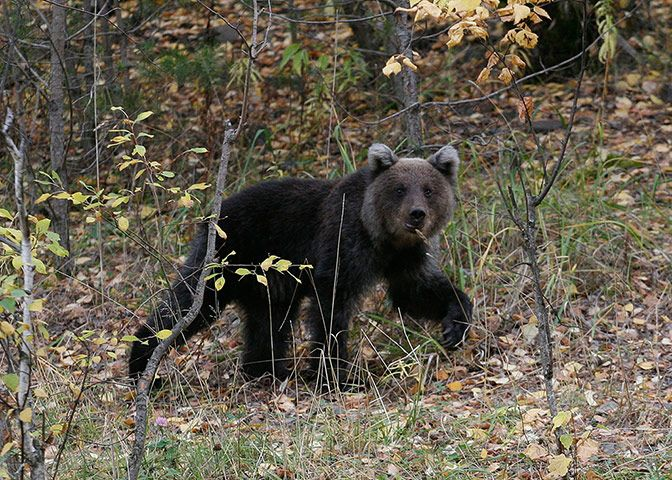 A brown bear cub walks in an area of taiga near the village of Ust-Mana Russia