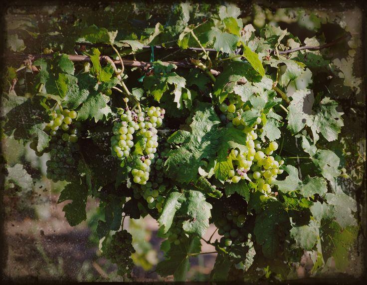 Udvardy Judit  Szüret 2013-as fotó. Tavaly jobban kedvezett az időjárás a szüretelőknek, a borászoknak mint idén. De bízom benne, hogy az idei szőlőkből is nyertes borok fognak születni.  Több kép Judittól: www.facebook.com/judit.udvardy