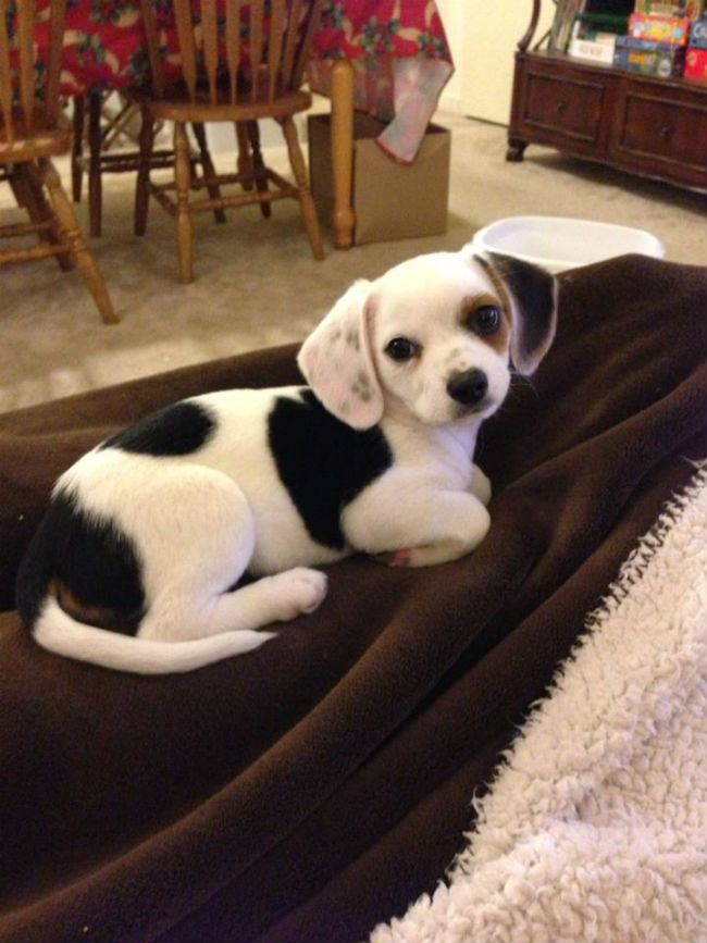 A Cheagle!  I want one.  Chihuahua and Beagle.  I bet this doggy wouldn't have ANY energy  LOL