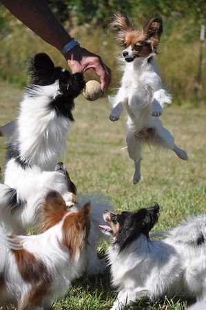 Jumping Papillons..they are fun~loving, very affectionate dogs.  I love my two!