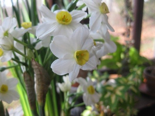 Narcissus-Winter Sun how to bloom indoors in the winter.