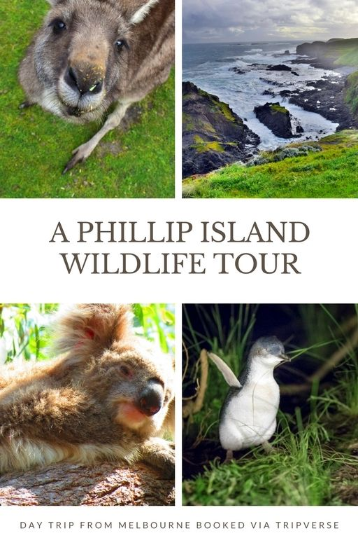 Phillip Island, Melbourne. If you want to experience #Australia #wildlife, day trips are the best way to see them up close! #animals