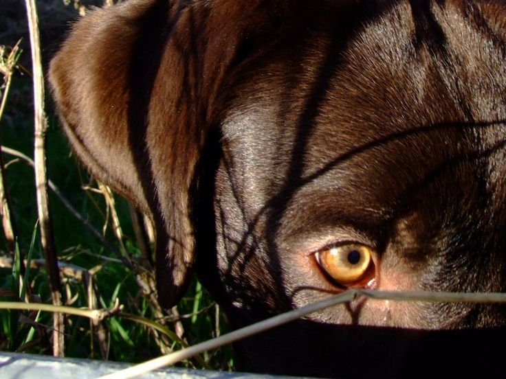 Chocolate Labrador Eye.