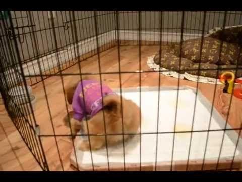 RARE TEDDY BEAR MAL-SHIH - YouTube