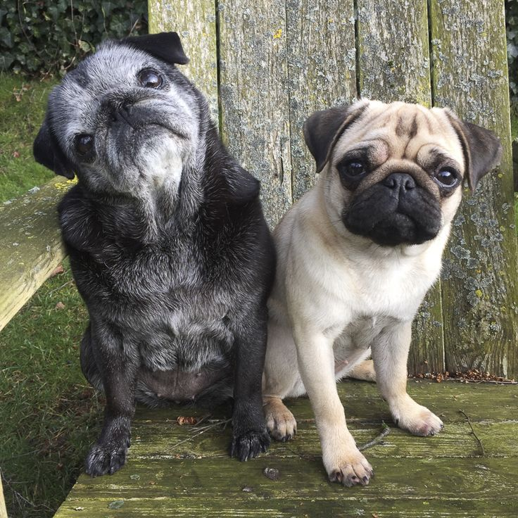 We are kicking off 2017 with the return of our most popular series, the Social Pug Profile. First up we have the ever so popular and full of life Fien + Rosie, The Dutch Pug Sisters. Get to know this dynamic duo in their Social Pug Profile interview. http://www.thepugdiary.com/social-pug-profile-fien-rosie/