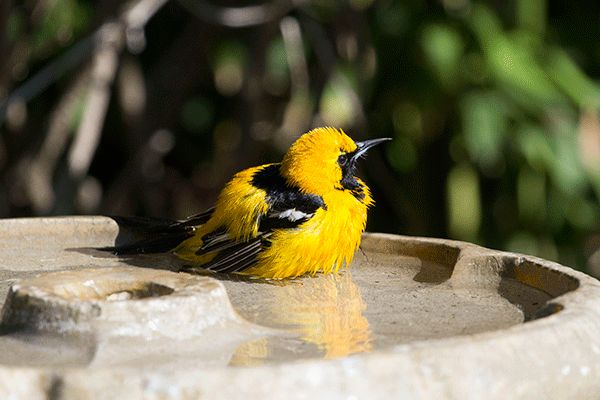 The Story of the Hooded Oriole Bath