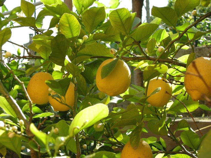 1000 ideas about lemon tree plants on pinterest growing for Can i grow a lemon tree from lemon seeds