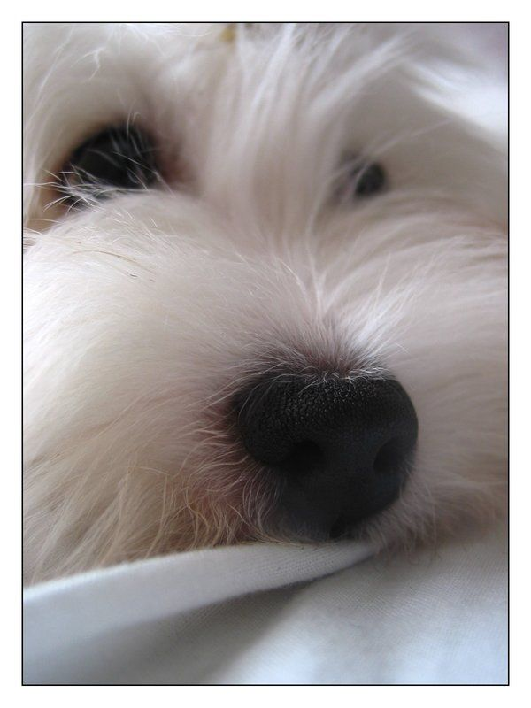 Coton de Tulear  Love that little  nose ❤