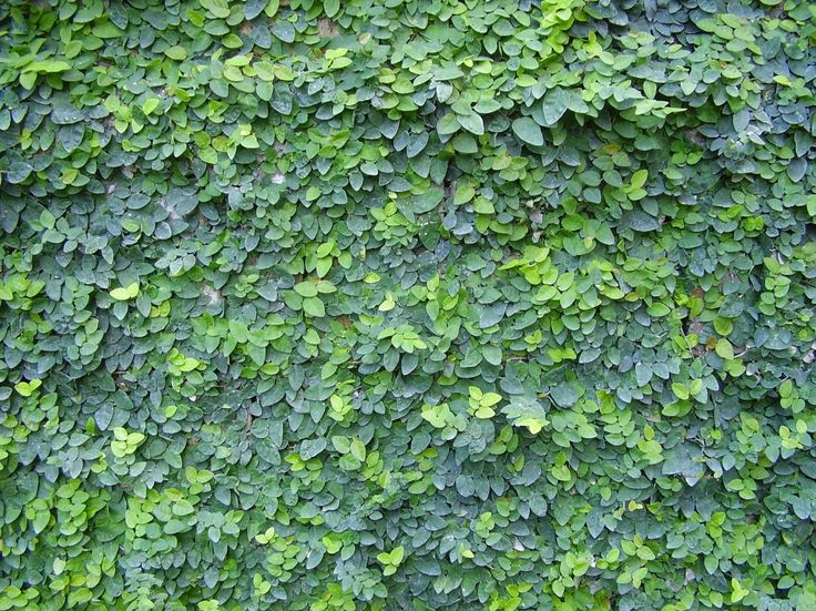 Creeping fig or Ficus pumila is an oldie but a goodie.  Can remove paint and render from walls though!  Best when pruned regularly for flat and consistent coverage.