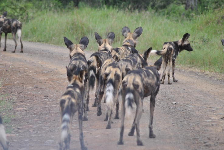 Wild Dogs Hluhluwe Umfolozi with Heritage Tours and Safaris