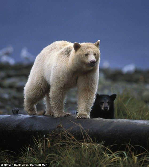 """""""Spirit Bear"""" """"Blonde Black Bear"""" """"Kermode Bear"""": Mother and baby were caught by a camera hidden by a blind"""