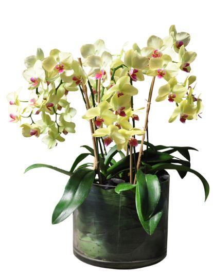 lavish Phalaenopsis orchid arrangement