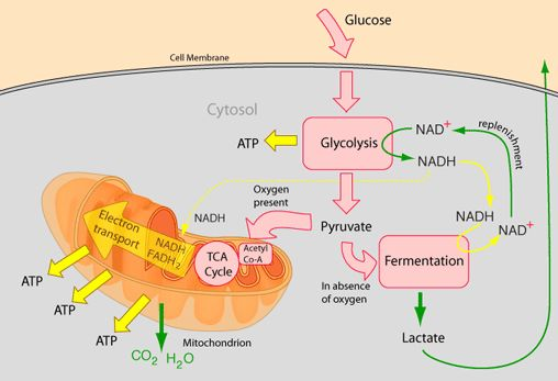 cellular respiration showing both aerobic and anaerobic pathways
