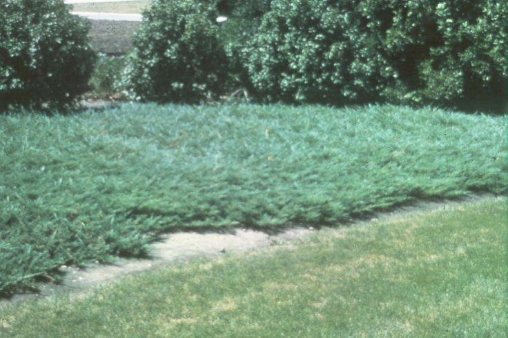 Juniperus Horizontalis Plumosa Wilton Carpet Juniper