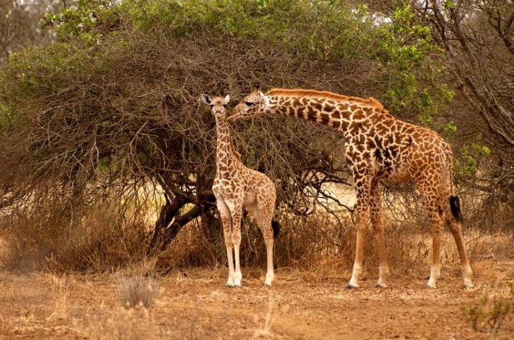Girafe în Amboseli