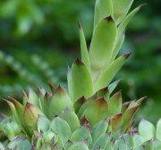 Esta es la planta que esta volviendo loco a todos, Elimina los quistes y fibromas solo acompañada de...