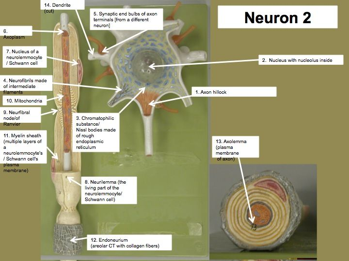 Neuron Model - Bing Images | Biology | Pinterest | Anatomy ...
