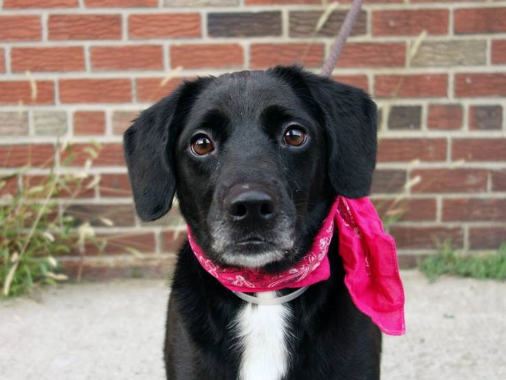 TO BE DESTROYED - 09/24/14 Brooklyn Center  My name is BOO. My Animal ID # is A1014461. I am a spayed female black and white beagle mix. The shelter thinks I am about 2 YEARS   I came in the shelter as a OWNER SUR on 09/18/2014 from NY 11377, owner surrender reason stated was LLORDPRIVA.   MOST RECENT MEDICAL INFORMATION AND WEIGHT 09/18/2014 Exam Type VACCINATE - Medical Rating is 1 - NORMAL , Behavior Rating is NONE, Weight 40.6 LBS.