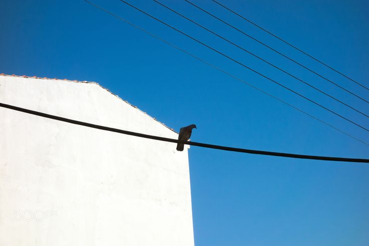 Pigeon - Single pigeon sitting on telephone wire in summer with blue sky background